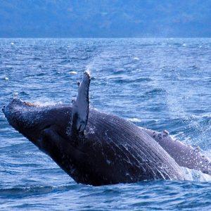 whale-samana